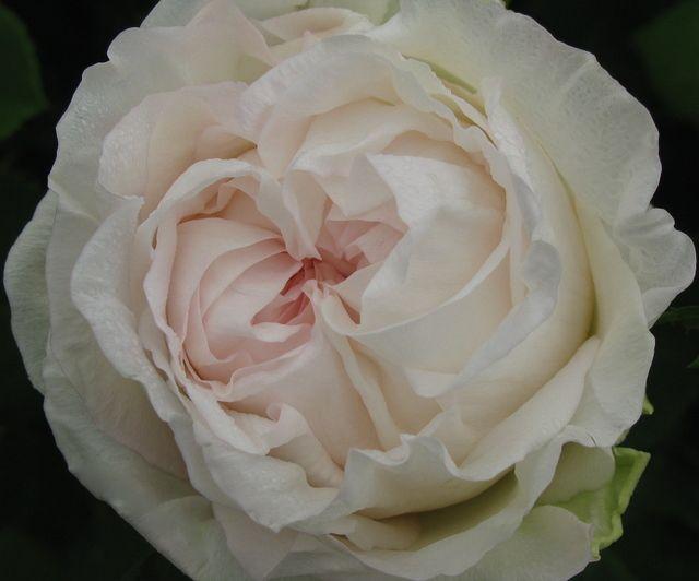 garden rose jhar