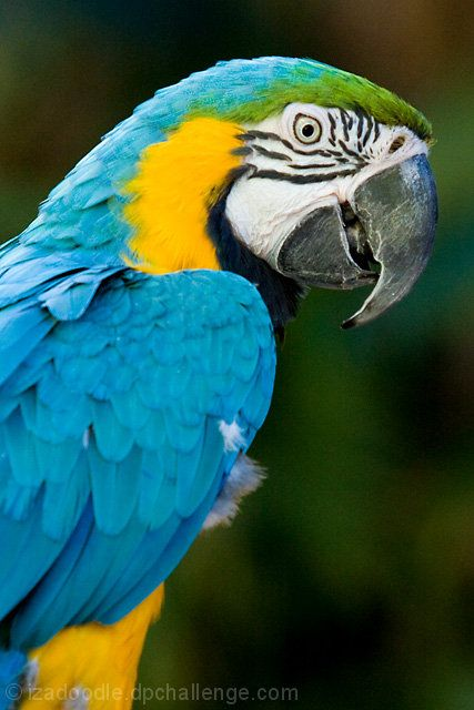Blue and Gold Macaw - Parrot - by izadoodle