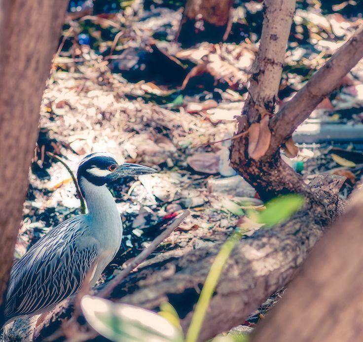 https://flic.kr/p/G3VSj2 | Yellow Crowned Night-Heron | Discovered this lovely bird during a morning walk-about in my neighbourhood.  I was very sorry to see the amount of trash and garbage that this bird was co-existing amongst.  There really isn't any significant living environmental consciousness in this area of the world it would seem.  :(