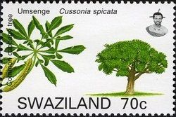 Stamp: Common Cabbage tree (Cussonia spicata) (Swaziland) (Trees of Swaziland) Mi:SZ 777,Yt:SZ 757,WAD:SZ001.07