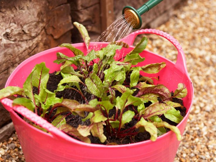 How to Grow Beets in a Container Garden ToolsDiy