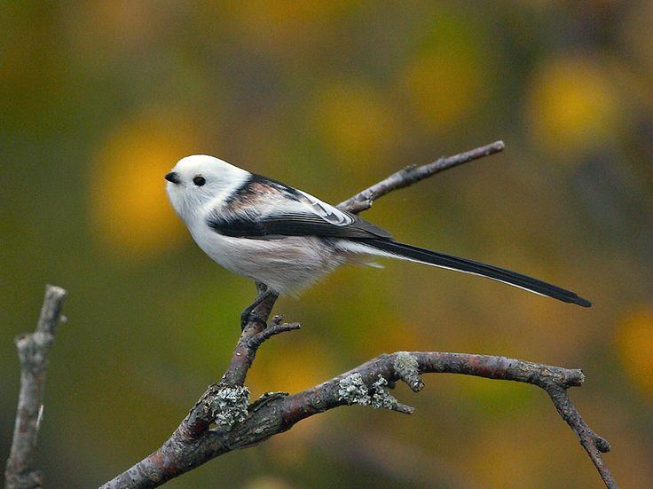 Bildresultat för svensk fjäril svart med vit kant