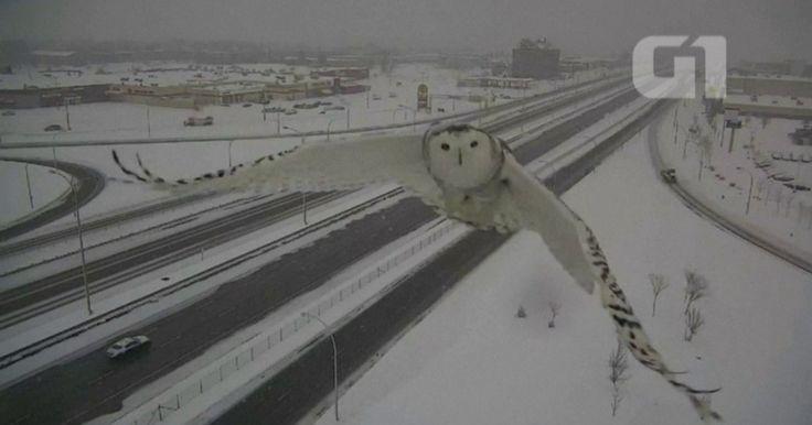 Rara coruja-das-neves é flagrada por câmeras de trânsito no Canadá