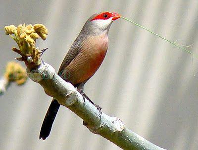 bico-de-lacre é uma ave passeriforme da família Estrildidae Brazilian Birds