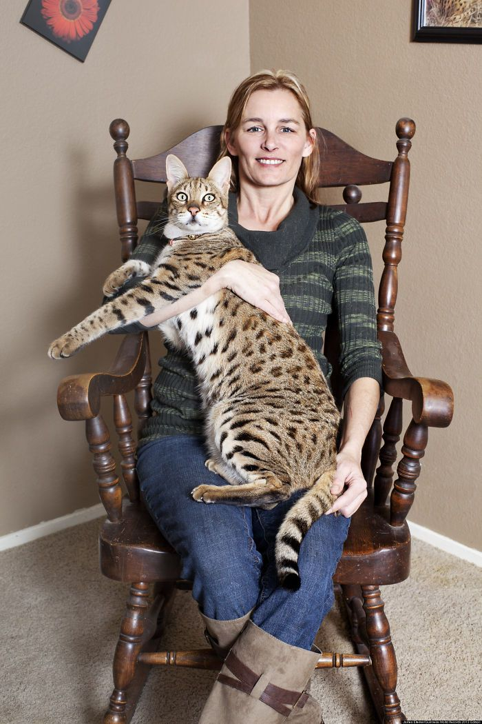 79 Of The Biggest Pet Cats Ever   Savannah chat, Savannah ...
