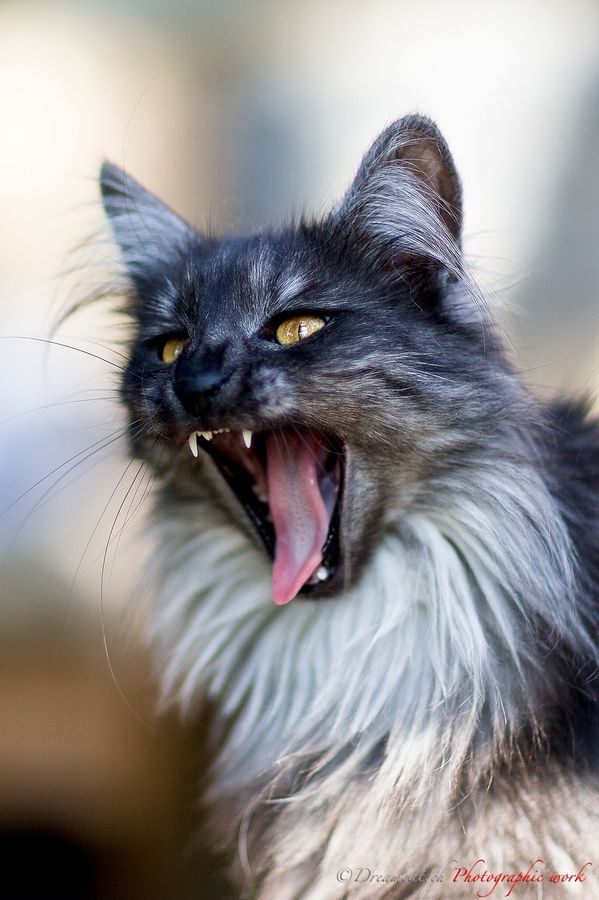 Angora cat definition