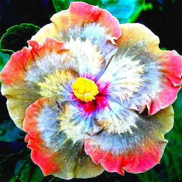 Hibiscus Flower Amazon Uk Hibiscus Hibiscus Plant Flower Seeds Hibiscus Flowers
