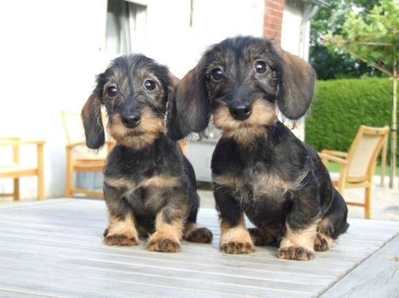 Awww! If Kevin ever let's us get a wiener, I want it to be a wirehair! They are adorable!