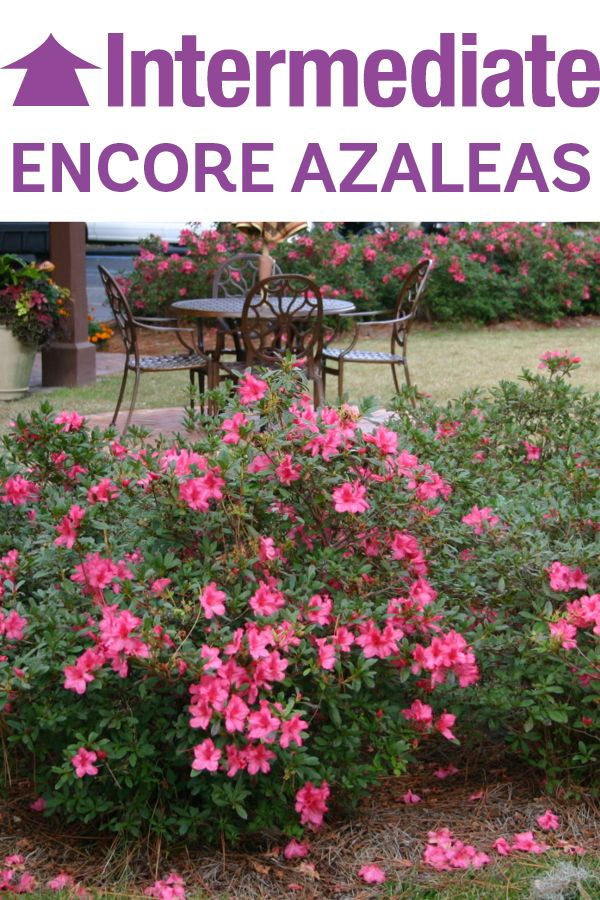 Whether You Need A Privacy Hedge Foundation Or Bold Accent Plant Our Intermediate Sized Varieties Are Here To Help Take A Look Azaleas Garden Hedges Plants