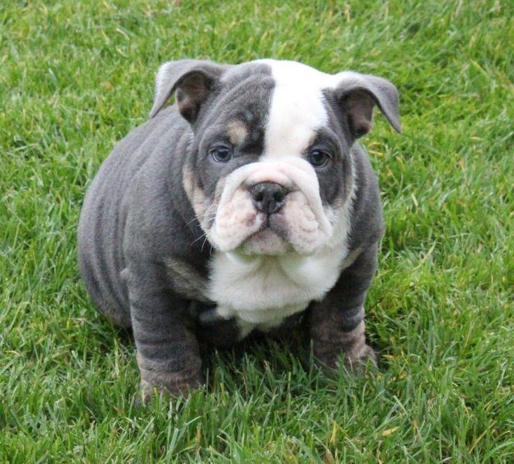 Blue English Bulldog Puppies Photos love me some English Bulldogs