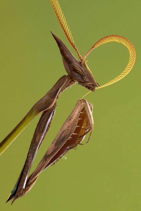 A portrait of a slender praying mantis (Idolomorpha dentifrons) from the Cheringoma Plateau. (Piotr Naskrecki)
