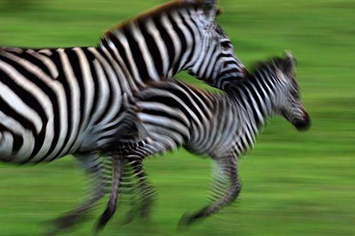 Zebras Take Over the Title for Longest Terrestrial Migration