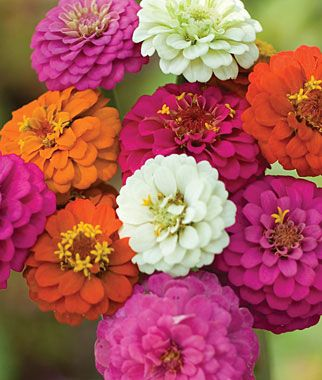 We have these as seedlings. We planted from seed in our greenhouse. So excited for our zinnias!