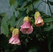 The 137 best abutilon images on pinterest exotic flowers flowering maple huntington pink abutilon hybrid mightylinksfo