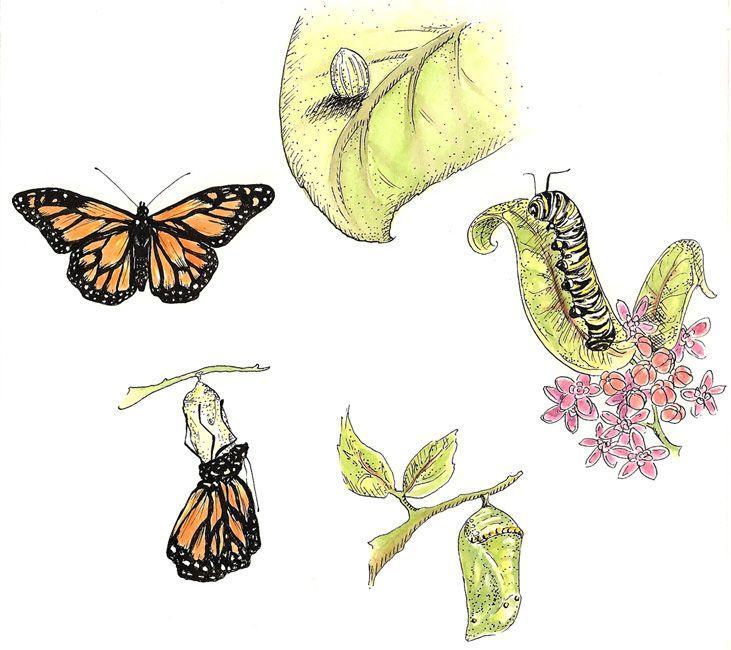 Превращение бабочки из гусеницы картинки