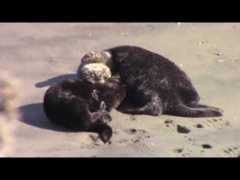 Southern sea otter mother and pup grooming