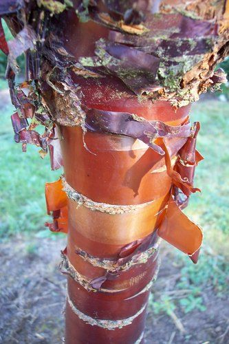 Paperbark Cherry | Prunus serrula | Birch Bark Cherry| plant lust