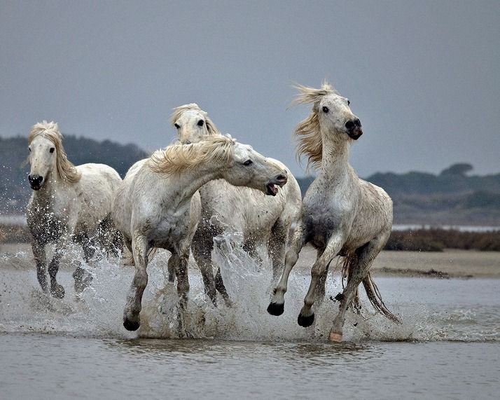 The Camargue horse is an ancient breed of horse indigenous to the Camargue area in southern France. Its origins remain relatively unknown, although it is generally considered one of the oldest breeds of horses in the world. For centuries, possibly thousands of years,[1] these small horses have lived wild in the harsh environment of the Camargue marshes and wetlands of the Rhône delta. Horses in Camargue, France