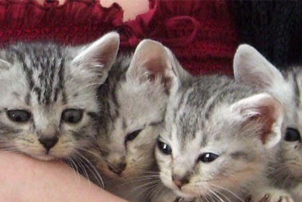 Egyptian-Mau kittens <3