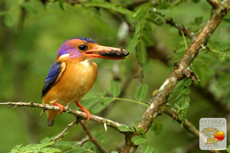 Pygmy Kingfisher at Mkuze Falls