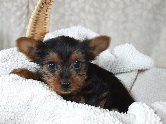 Want Ad Digest Pet Dog Puppies