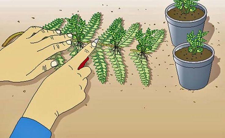 Farne selbst vermehren - so klappt's! -  Wer ruhiges Grün in vollendeter Form in seinen Garten bringen möchte, sollte sich für Farne entscheiden. Sie überraschen mit einer verblüffenden Vielfalt.
