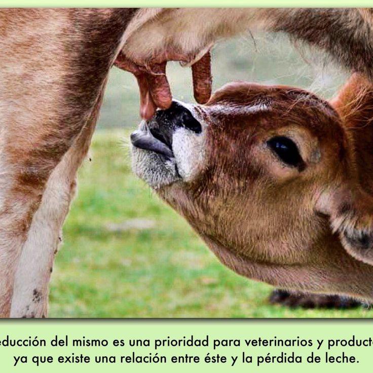 El recuento de células somáticas en la leche es un indicador del estado general de salud de la glándula mamaria de la vaca. La reducción del mismo es una prioridad para veterinarios y productores, ya que existe una relación entre éste y la pérdida de leche. La mastitis, mamitis o inflamación de la glándula mamaria