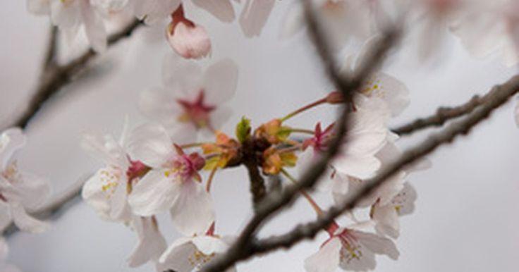 """¿Cuál es el significado de las flores del cerezo?. Las flores del cerezo japonesas son flores conocidas en Japón como """"sakura"""". Aunque no son autóctonas únicamente en Japón, aquí se veneran con recepciones solemnes denominadas Hanami, las cuales simbolizan el augurio de buena fortuna, el emblema del amor y afecto y representan una metáfora perdurable de la naturaleza fugaz de la mortalidad. El ..."""