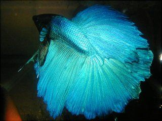 Betta splendens (scientific name)--show quality specimens sure look different than the original wild type!