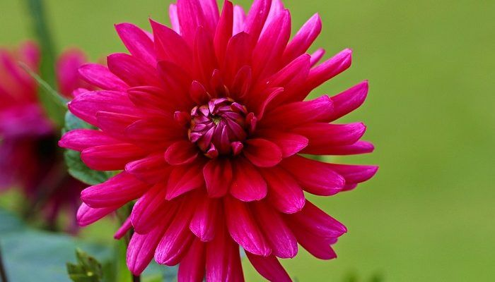 Dahlia Flower Meaning Symbolism And Colors Flower Garden Design Flower Meanings Dahlia Flower