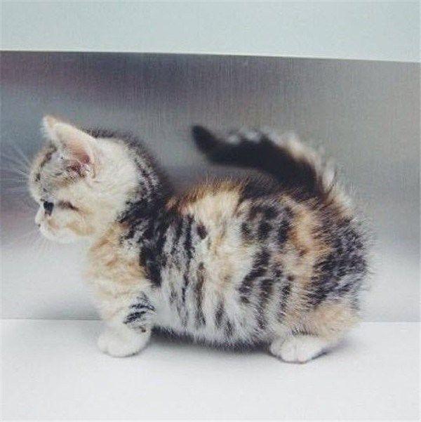 Sehr runde Munchkin-Katze, deren Bauch fast am Boden ziehen wird.   – Nina's favs