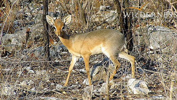 The Ongava Reserve – October 2013 The diminutive and secretive Damara dik-dik. #Africa #Namibia #Safari #WildernessSafaris