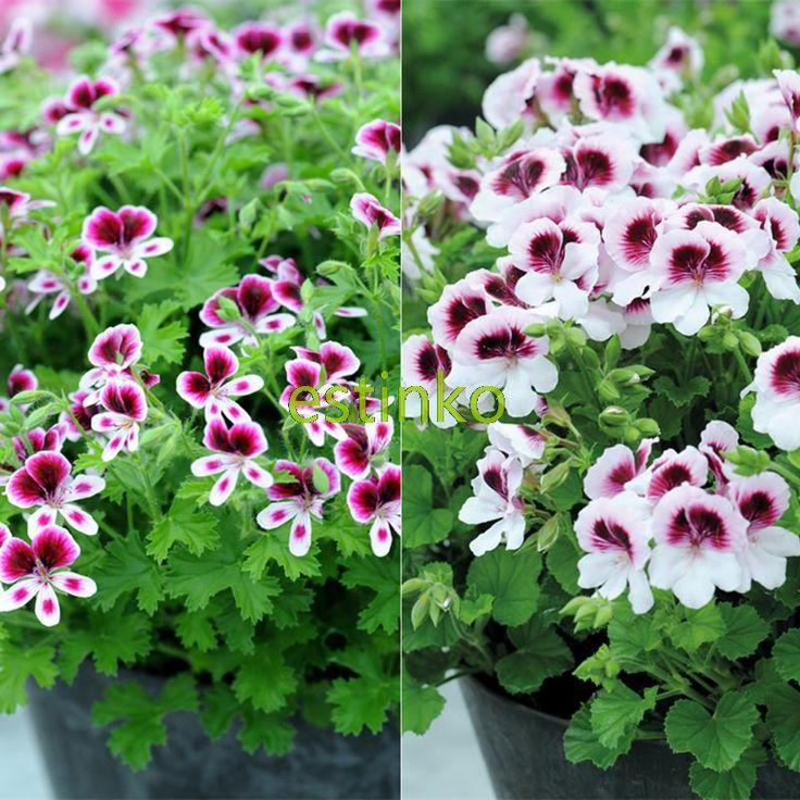 10pcs Rare Geranium Seeds Bug Off Collection Pelargonium Perennial Flower Seeds Hardy Plant Bonsai Potted Plant Free Shipping #Affiliate
