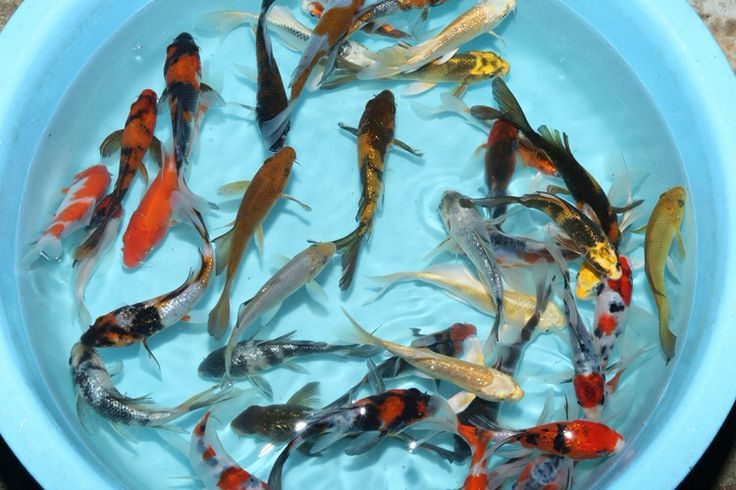 7 best koi for sale images on pinterest koi for sale for Tosai koi for sale