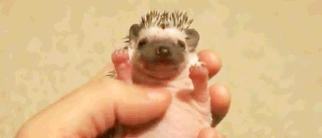 """Enchanting Facts About Hedgehogs - Baby Hedgehogs are called """"Hoglets"""" and need their bellies rubbed to aid digestion. 