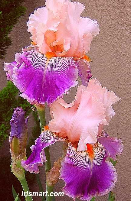 Tall Bearded Iris Flowers | Savannah Fair tall bearded irises, flowers, baby pink and deep purple: