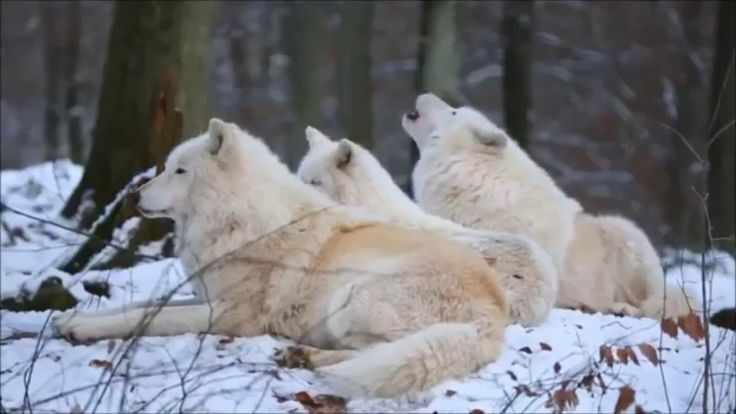 Animal wildlife  - Wolf Habitat and Distribution full documentary
