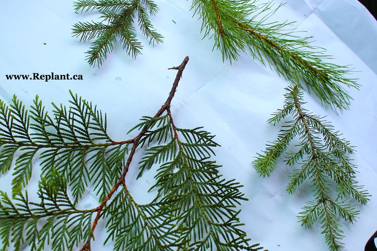 Types Of Trees In New Brunswick Canada