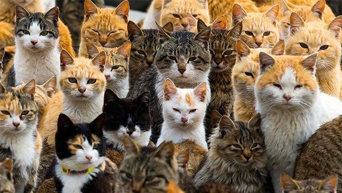 """En armé av förvildade katter härskar på en avlägsen ö i södra Japan. De har intagit övergivna hus och struttar obekymrat omkring i den lilla fiskebyn. """"Cat Island"""" har blivit ett populärt utflyktsm..."""