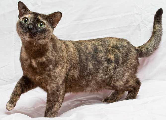 Blue tortie burmese cat