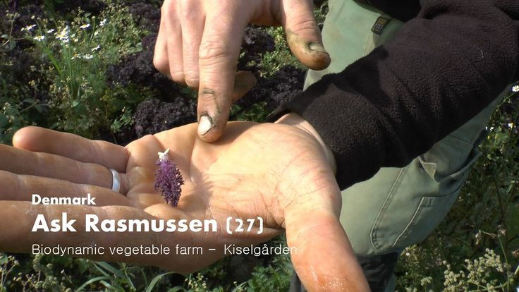 Ask Rasmussen delivers to world-class restaurants @ biodynamic vegetable farm Kiselgården