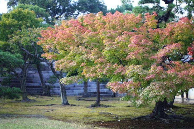 https://flic.kr/p/HzpRp5 | Tree in Nijo Castle #netspashecophotography
