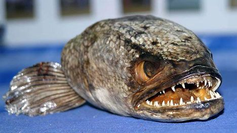 Yikes! This scary lookin' snakehead fish can breath air & walk on land (New Guinea) Australia