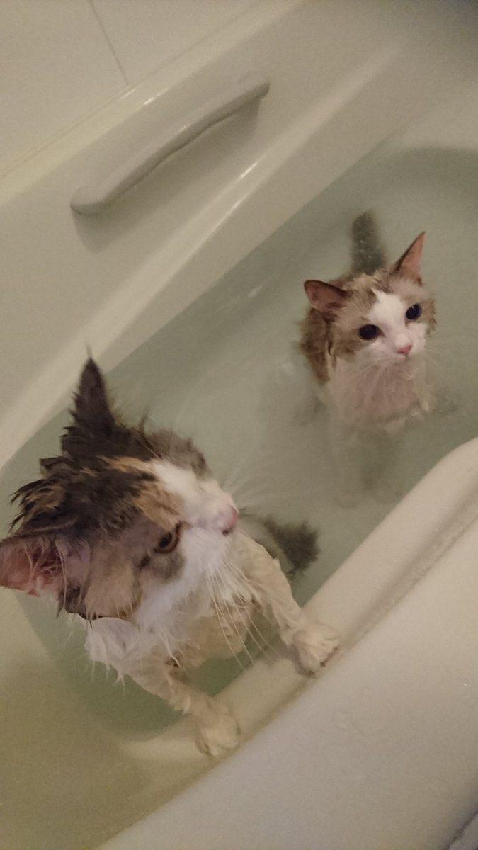 我が家では当たり前の光景なのですが、他の猫飼いさんからはありえないと言われる光景がこちらになります。 pic.twitter.com/jK7NcpBfzz