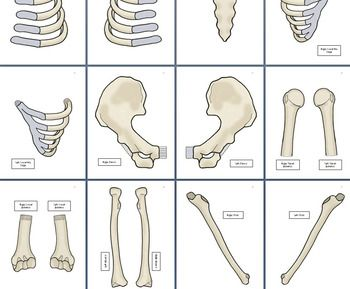 Genius image pertaining to life size printable skeleton