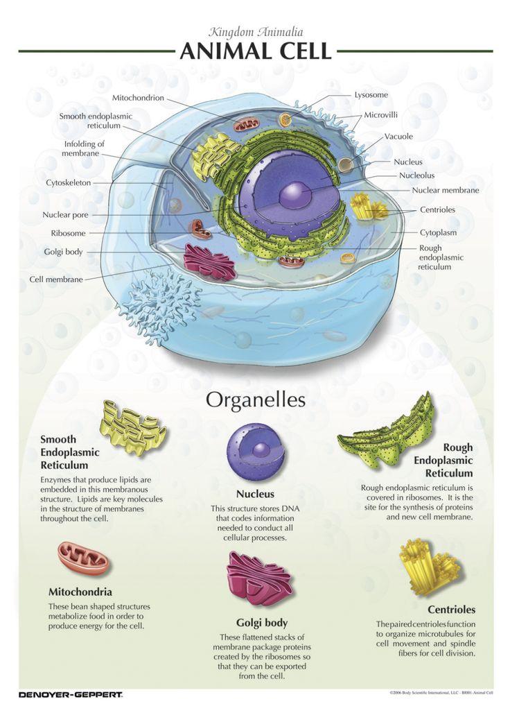 Denoyer-Geppert Animal Cell Chart | Cells project