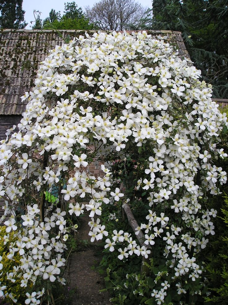 clematis montana f. grandiflora Voor langs de trap.....in wit en roze, wordt wel 5 meter lang!