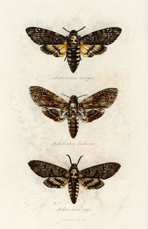 "sarah-oconnell: ""  Spent some time today revisiting this series of moths from 2013! All three of them are in one happy print now. """