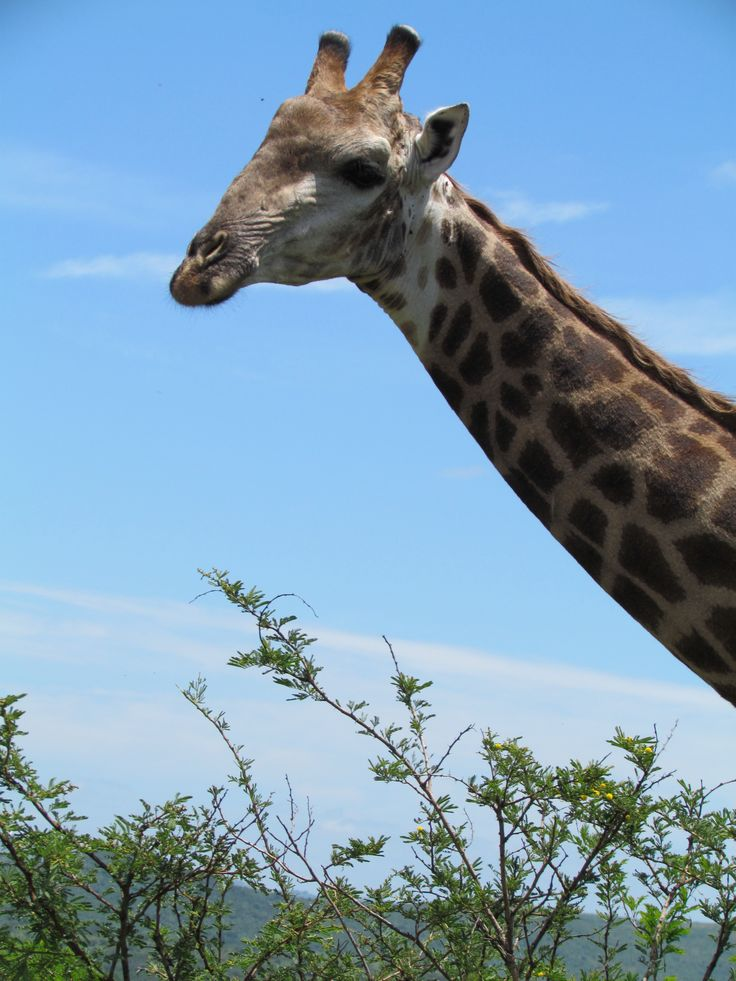 Giraffe are a common sighting on Day trips from St Lucia to the Hluhluwe-iMfolozi Park