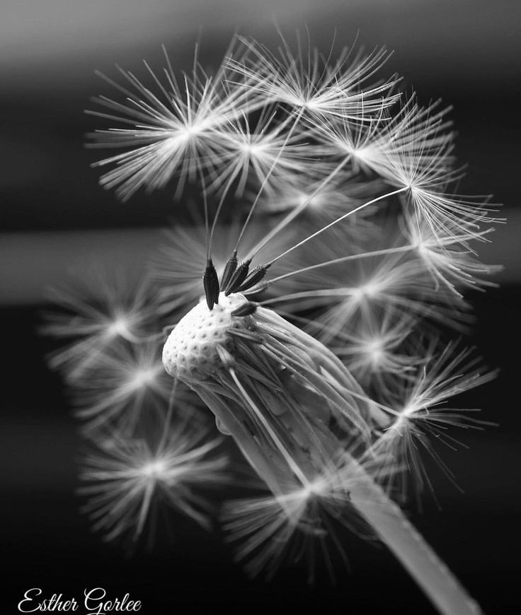 26 vind-ik-leuks, 1 reacties - My first Canon (@my_first_canon) op Instagram: '#photography #canon #dandelion #macro #macrophotography #beautifulnature #naturephotography…'